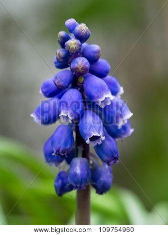 Muscari - Blue Grape Hyacinth Close-up