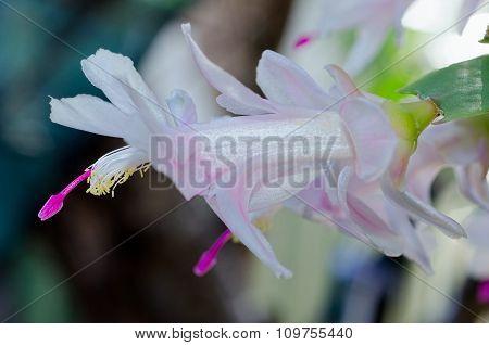 White Purple Zygo - Zygocactus Close-up