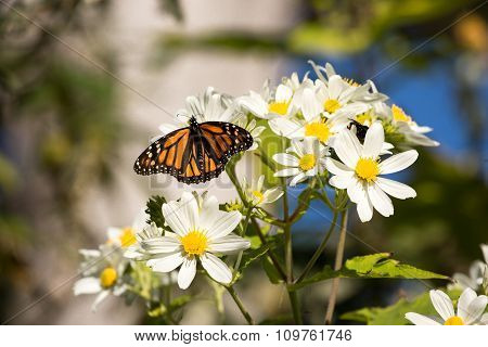 Monarch butterfly drinks daisy flower nectar