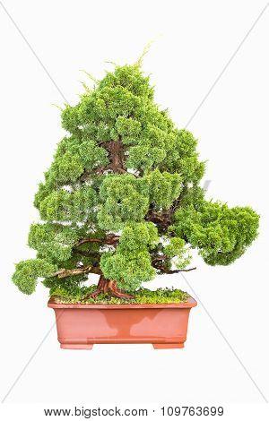 Bonsai Tree Of Cypress