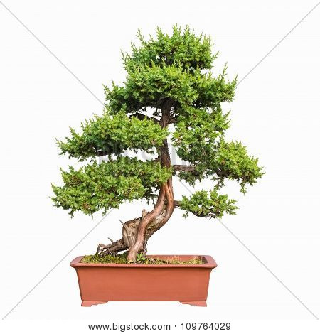 Bonsai Tree Of Shimpaku Juniper