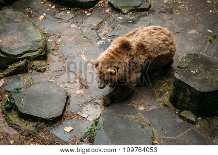 Big Male Brown Bear walks near rock stones