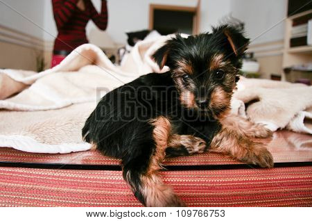 Yorkshire Terrier Puppy At Home