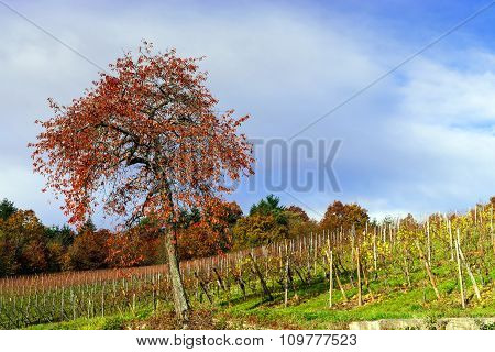 Last Autumn Tree With Colorful Leaves