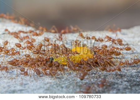 Groups Red Ants Attack Worm