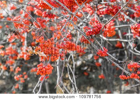 Red Ripe Ashberries At Autumn