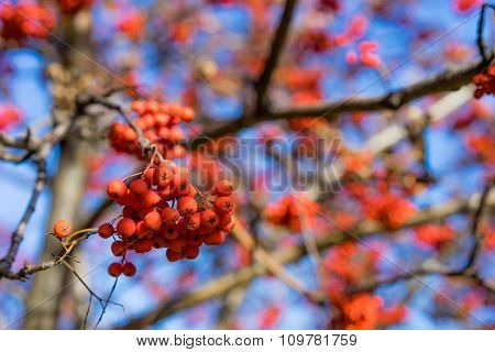 Red ripe ashberries without leaves