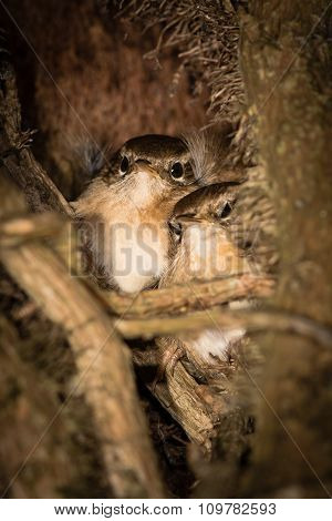Treecreepers (Certhia americana) roosting at night