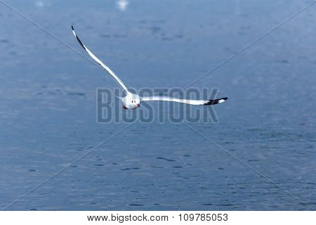Seagull Fly Over Water
