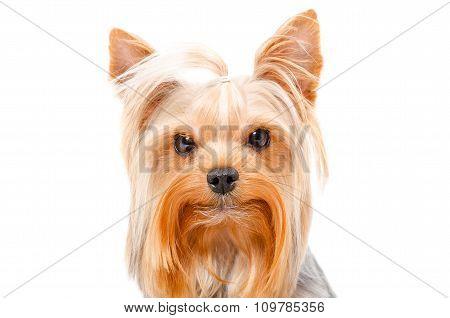 Portrait of Yorkshire Terrier, closeup