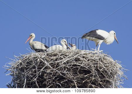 The storks on the nest