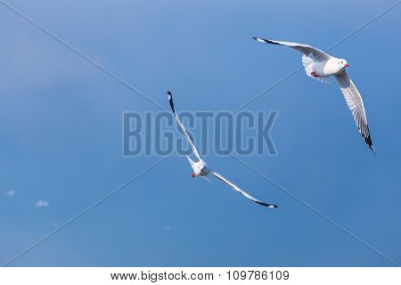 Two Seagulls Fly Together