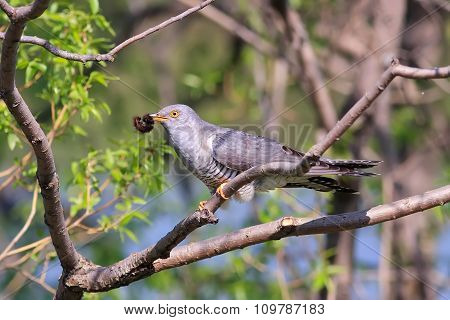 grey cuckoo sitting on a tree
