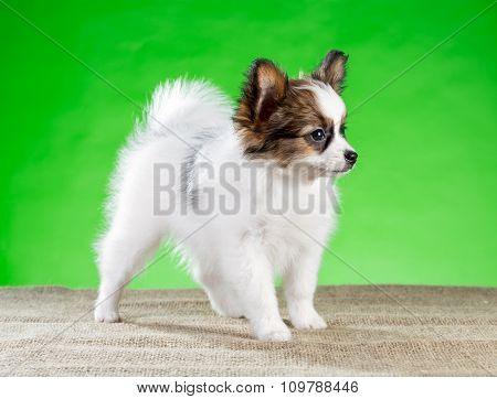 Portrait Little Papillon Puppy
