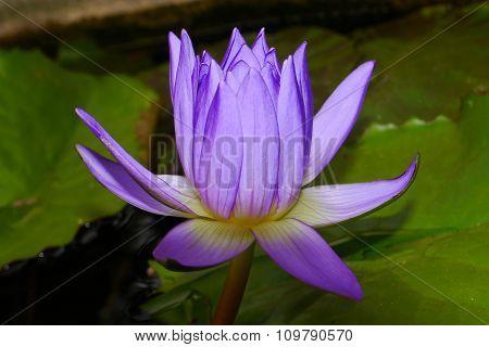 Purple lotus pollen yellow filaments solar energy