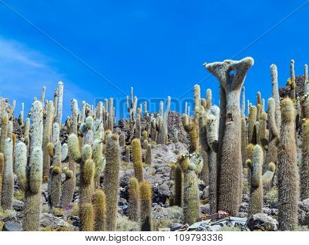 Group Of Huge Trichoreus Cactus Standing On Isla Incahuasi At Salt Plain Salar De Uyuni