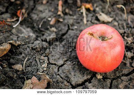 Fallen Apple On The Ground.