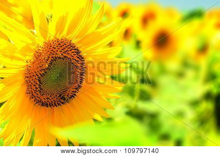 Yellow Sunflower In Bright Sun On A Field Of Sunflowers.