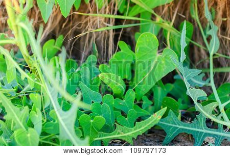 Heart Shape Leaves Of Herb.