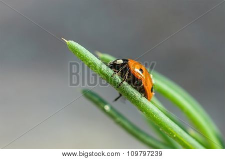 Ladybug On Grass Green On Background.