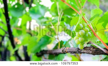 Abstract Blurred Background With Bunch Of Grapes On Vine.