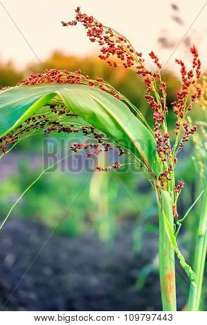 Abstract Blurred Background With Little Millet Stalk On Sunset.