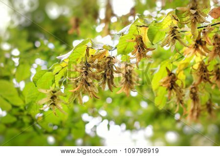 Autumn leaves and seeds in Sunlight Rays - Hornbeam. ** Note: Shallow depth of field