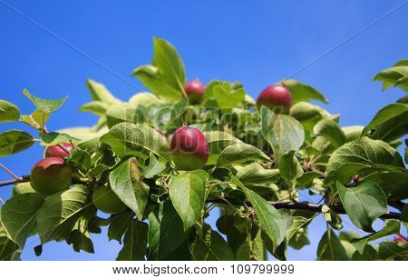 branch with apples blue sky