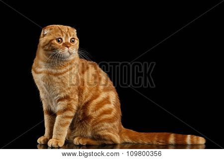 Ginger Scottish Fold Cat Sits And Looking At Right Isolated On Black