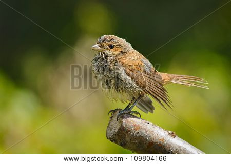 Young Red-backed Shrike After Bathing, Russia