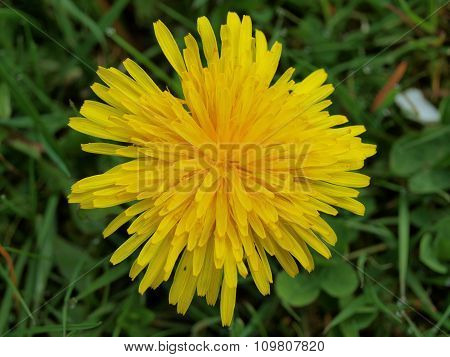 Dandelion (taraxacum Officinale), South Bohemia