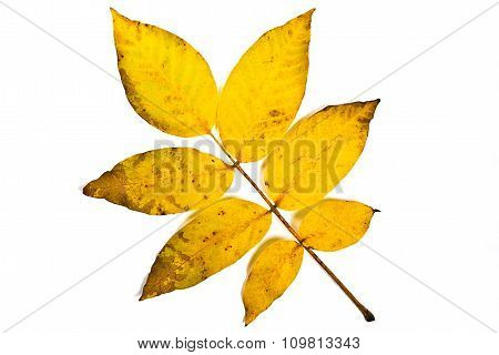 Autumn Walnut Tree Leaf Isolated On White Background. With Clipping Path.