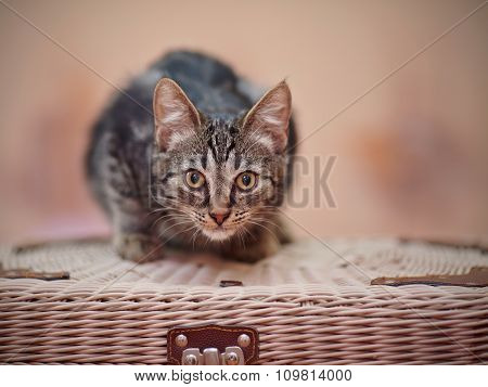 Striped Domestic Kitten Sits On A Wattled Suitcase