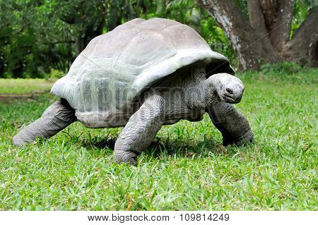 African Turtle In Grass