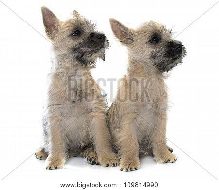 Puppies Cairn Terrier