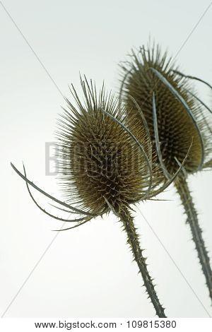 Wild Teasel (dipsacus Fullonum) In Close Up