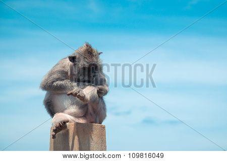 Monkey Sitting On A Rock. Chinese 2016 New Year Symbol