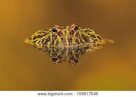 Argentinian Horned Frog (Ceratophrys Ornata)