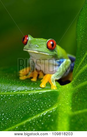 Red-Eyed Amazon Tree Frog (Agalychnis Callidryas)