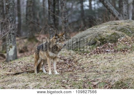 A lone coyote in the woods