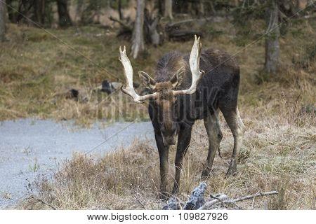 Large bull moose