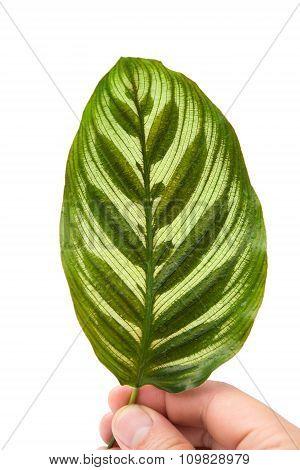 Front Of   Calathea Makoyana Leaf On White Background