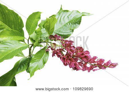 Megaskepasma Erythrochlamys Lindau Flower