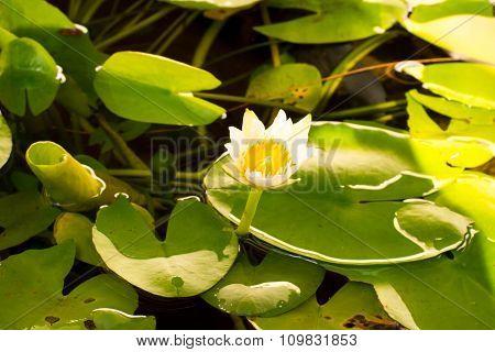 lotus at day time