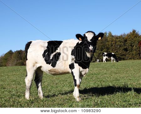 Young Holstein Dairy Cow Heifer