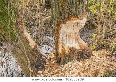Willow Bitten By Eurasian Beaver (european Beaver, Castor Fiber)