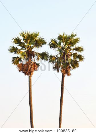 twin toddy palm