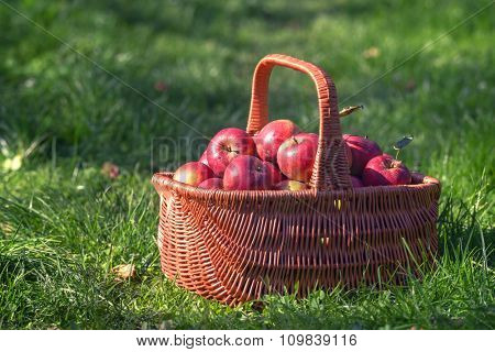 basket with apples on garden
