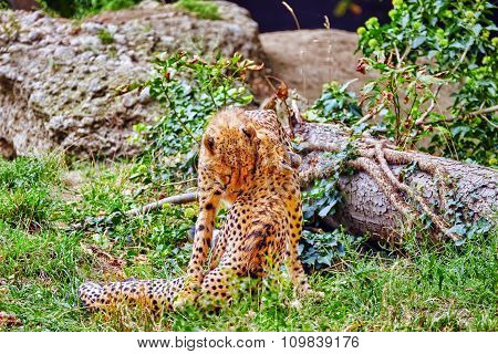 Couple Of Cheetah Play (acinonyx Jubatus)-is A Big Cat In The Subfamily Felinae That Inhabits Most O