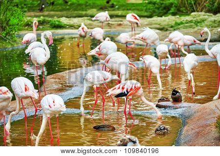 Flock Of The Pink Flamingo In Nature (phoenicopterus Roseus).